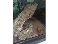 2 lepord geckos