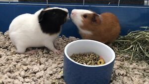 Guinea pigs + Cage + Supplies ( Price dropped ) Urgent Sale
