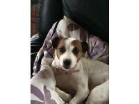 Beautiful jack Russell terriers