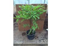 SINENSIS WISTERIA / CHINESE TREE, CLIMBER, PURPLE FLOWERING 2L POT 40-60CM **ONLY £4.99 EACH**