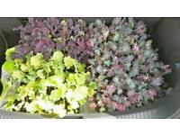 Kale plants - three varieties