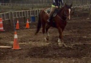 Riding horse for sale