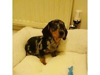9month silver dapple dashchund male