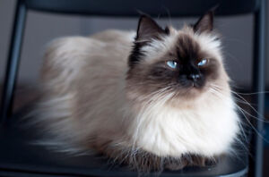 Searching for male himalayen for breeding
