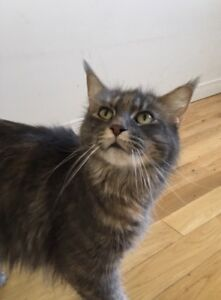 Superbe chatte Maine Coon!