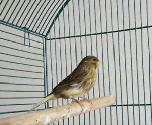 Male Gloster Canary