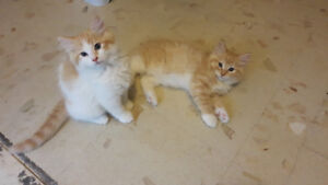DOMESTIC  X RAGDOLL KITTENS
