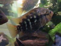 3 inch rainbow for fish tank aquarium kof
