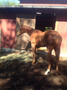 2 year old Thoroughbred filly for sale....