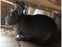 3 year old rabbit