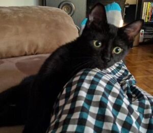 """""""Misty"""" - beautiful friendly black kitten available for adoption"""