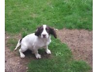 Springer Spaniel pup for sale KC registered
