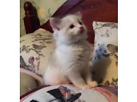 RAGDOLL KITTEN MALE READY NOW FULLY VACCINATED