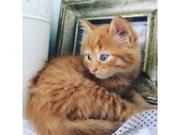 4 beautiful ginger kittens for sale, and one gorgeous black kitten!