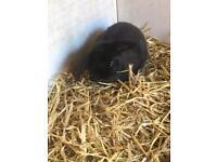 Baby lop rabbit