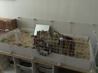 2 x Guinea Pigs, cage & all accessories - quick sale required