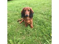 KC registered Miniature longhair dachshund puppies.