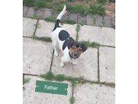 (Jack Russell Terrier) puppies for SALE