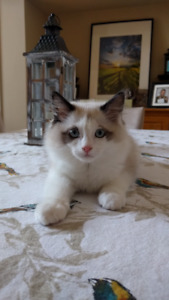 Male Sealpoint Ragdoll Ready To Go To His New Home