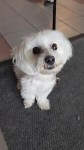 "Adult Female Dog - Bichon Frise: ""Muffy"""