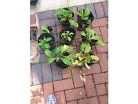 PRIMULA PLANTS x 8 POTS