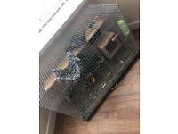 X2 Male Chinchilla's for Sale