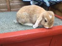 Mini lop bunny rabbits
