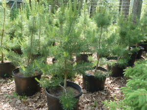 POTTED TREES FOR SALE - WHITE SPRUCE, SCOTS PINE, TAMARACK, COL