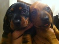 ADORABLE DACHSHUND PUPPIES FOR SALE