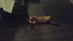 Free siamese cat