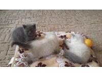 3 adorable British Shorthair Kittens