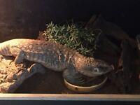 For Sale : Savannah Monitor Lizard - Adult Female .