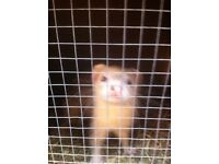 Ferrets to good home