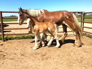 2017 Bay Registered Clydesdale Colt
