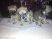 3 Chiwawa Puppies