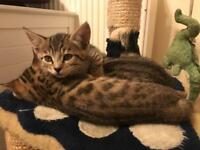 Bengal cross kittens for sale
