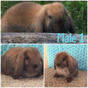 Rosewood Rabbitry: Holland Lop Male- Delivery Available