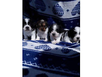 Shih Tzu x jack Russell puppies for sale