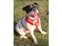 Staffordshire Bull Terrier - 12 Month Old Male