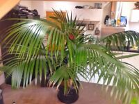 Exotic Kentia palm with 70lt pot height 2m(6,5ft) diameter 3,5m(11,5ft)