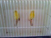 canarys pair irish good birds pick up only 30 pound the pair