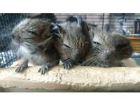 Beautiful baby degus for sale
