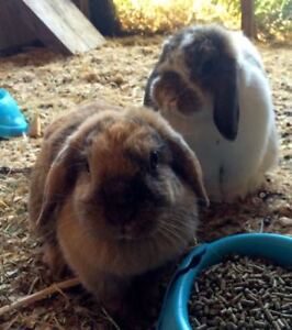 Purebred Holland Lops - sweet pair of does!