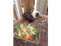 2x guinea pigs forsale