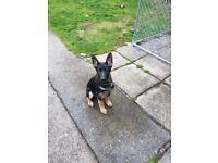 German shepherd pup for sale