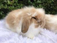 STUNNING LION LOP RABBITS READY TO LEAVE NOW