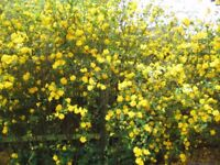 KERRIA JAPONICA - LOADS OF YELLOW FLOWERS