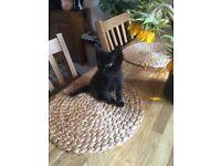 Half British shorthair kitten