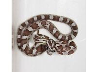 CB17 Ghost Corn Snake Hatchlings (3 available)