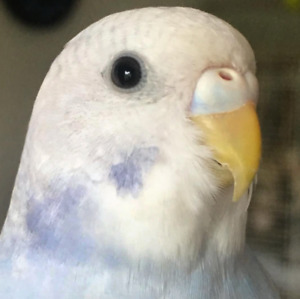 Hand tamed budgie